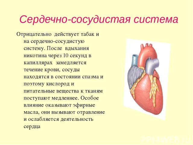 Сердечно-сосудистая система Отрицательно действует табак и на сердечно-сосудистую систему. После вдыхания никотина через 10 секунд в капиллярах замедляется течение крови, сосуды находятся в состоянии спазма и поэтому кислород и питательные вещества …