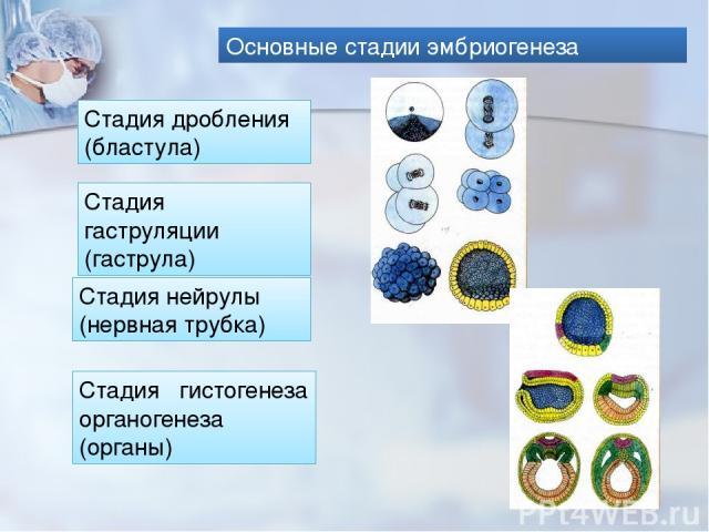 Основные стадии эмбриогенеза Стадия дробления (бластула) Стадия гаструляции (гаструла) Стадия гистогенеза органогенеза (органы) Стадия нейрулы (нервная трубка)