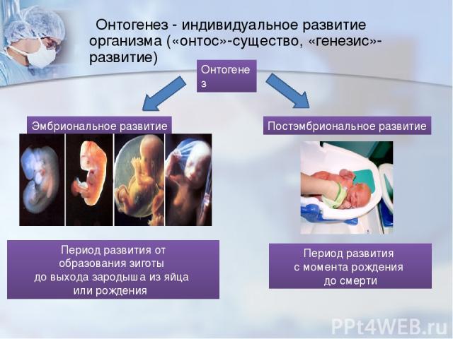 Онтогенез - индивидуальное развитие организма («онтос»-существо, «генезис»-развитие) Онтогенез Эмбриональное развитие Постэмбриональное развитие Период развития от образования зиготы до выхода зародыша из яйца или рождения Период развития с момента …