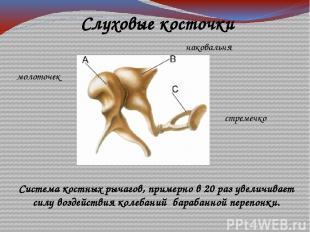 молоточек наковальня стремечко Слуховые косточки Система костных рычагов, пример