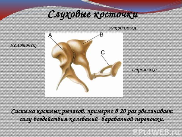 молоточек наковальня стремечко Слуховые косточки Система костных рычагов, примерно в 20 раз увеличивает силу воздействия колебаний барабанной перепонки.