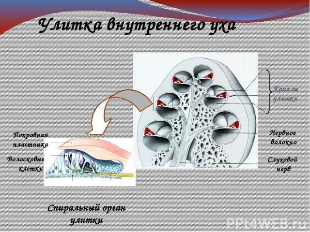 Слуховой нерв Нервное волокно Покровная пластинка Волосковые клетки Спиральный орган улитки Улитка внутреннего уха Каналы улитки