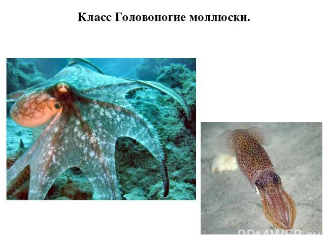 Класс Головоногие моллюски.