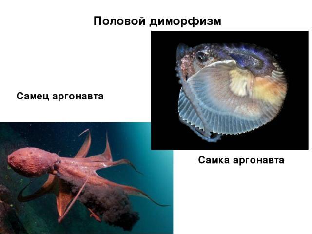 Половой диморфизм Самец аргонавта Самка аргонавта
