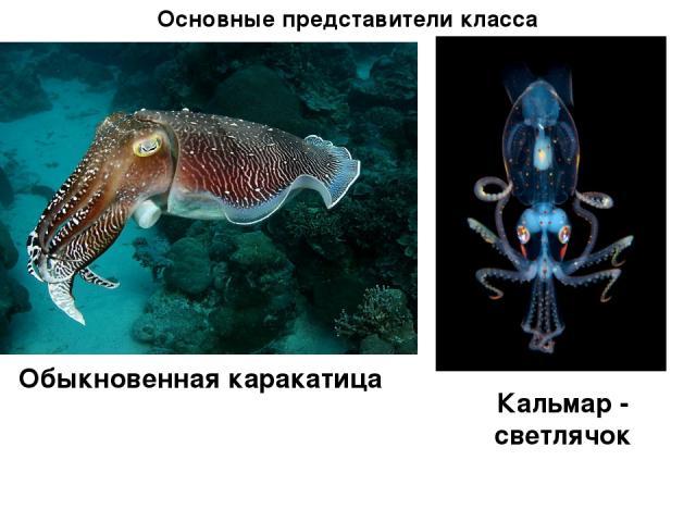 Основные представители класса Обыкновенная каракатица Кальмар - светлячок