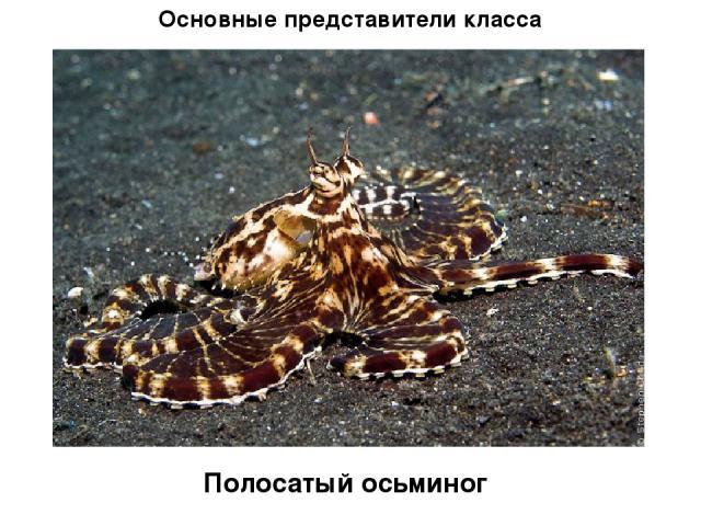 Основные представители класса Полосатый осьминог