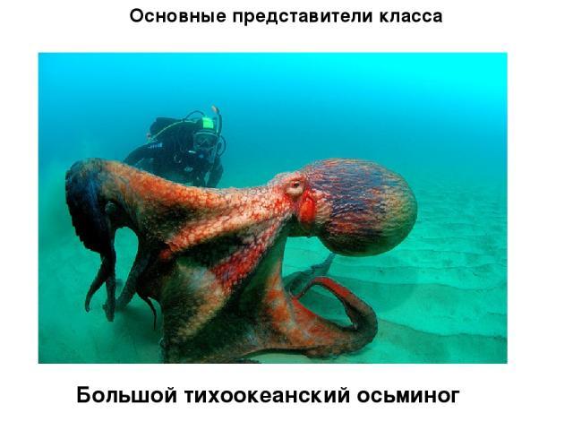 Основные представители класса Большой тихоокеанский осьминог