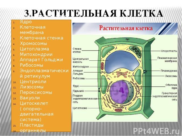 3.РАСТИТЕЛЬНАЯ КЛЕТКА Растительная клетка имеет: Ядро Клеточная мембрана Клеточная стенка Хромосомы Цитоплазма Митохондрии Аппарат Гольджи Рибосомы Эндоплазматический ретикулум Центриоли Лизосомы Пероксисомы Вакуоли Цитоскелет ( опорно- двигательная…