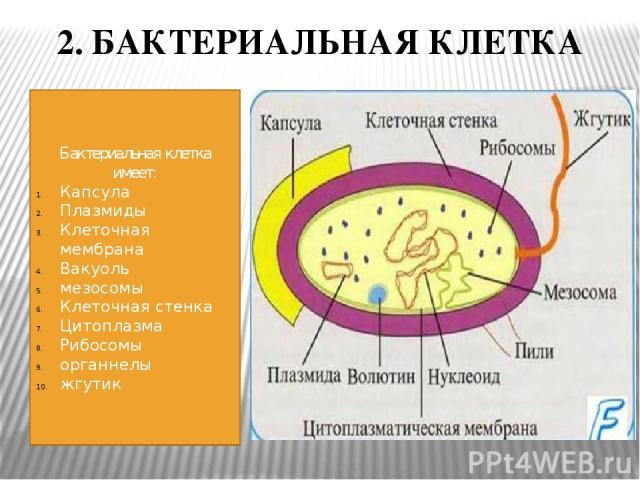 2. БАКТЕРИАЛЬНАЯ КЛЕТКА Бактериальная клетка имеет: Капсула Плазмиды Клеточная мембрана Вакуоль мезосомы Клеточная стенка Цитоплазма Рибосомы органнелы жгутик