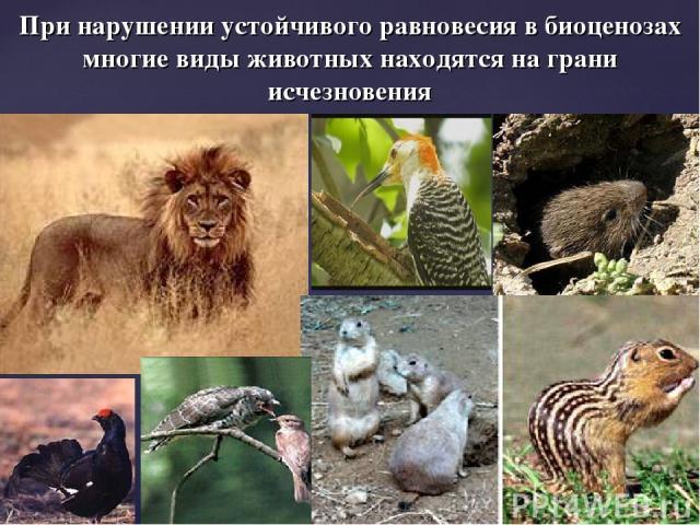При нарушении устойчивого равновесия в биоценозах многие виды животных находятся на грани исчезновения