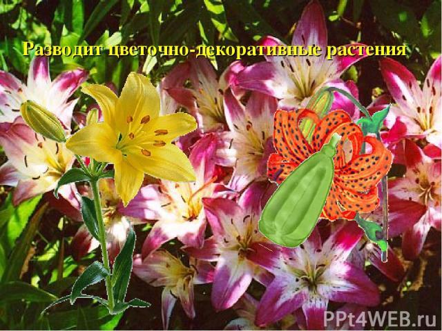 Разводит цветочно-декоративные растения