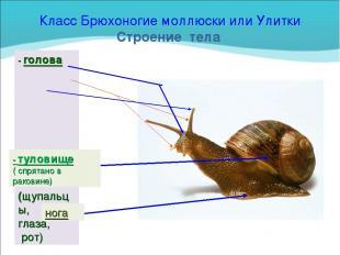Класс Брюхоногие моллюски или Улитки Строение тела - голова (щупальцы, глаза, ро