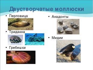 Двустворчатые моллюски Перловица Тридакна Гребешки Анадонты Мидии