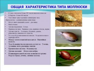 ОБЩАЯ ХАРАКТЕРИСТИКА ТИПА МОЛЛЮСКИ К типу относятся более 230 тысяч видов моллюс