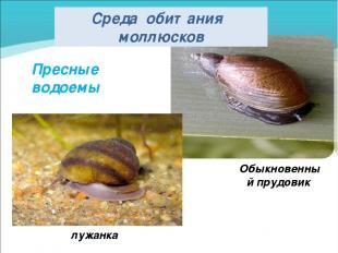 Пресные водоемы лужанка Обыкновенный прудовик Среда обитания моллюсков