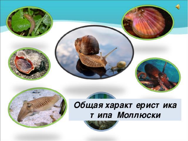 Общая характеристика типа Моллюски