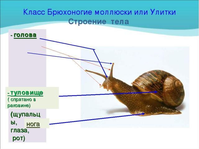 Класс Брюхоногие моллюски или Улитки Строение тела - голова (щупальцы, глаза, рот) - туловище ( спрятано в раковине) нога
