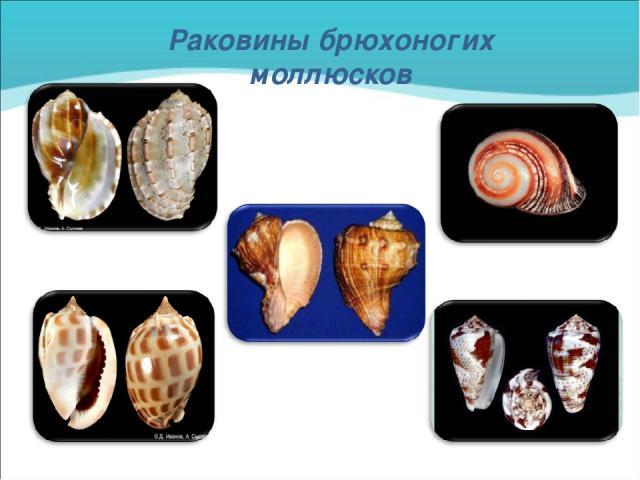 Раковины брюхоногих моллюсков