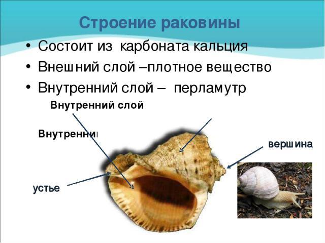 Строение раковины Состоит из карбоната кальция Внешний слой –плотное вещество Внутренний слой – перламутр Внутренний слой Внутренний слой вершина устье