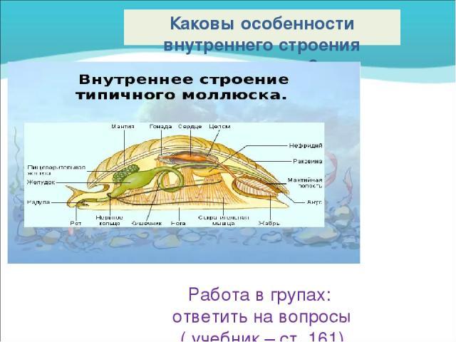 Каковы особенности внутреннего строения моллюсков? Работа в групах: ответить на вопросы ( учебник – ст. 161)