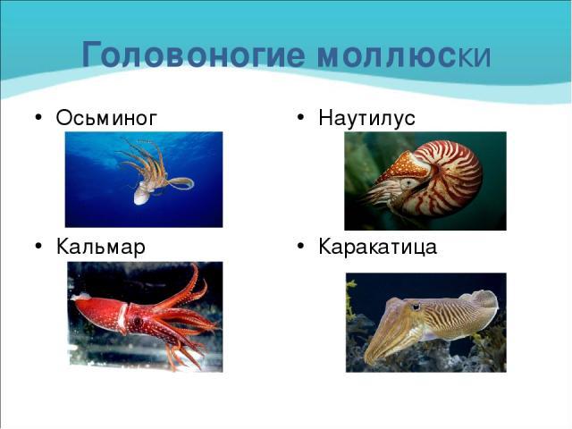 Головоногие моллюски Осьминог Кальмар Наутилус Каракатица