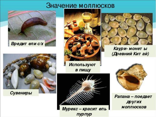 Значение моллюсков Вредители с/х Используют в пищу Сувениры Каури- монеты (Древний Китай) Рапана – поедает других моллюсков Мурекс – краситель пурпур