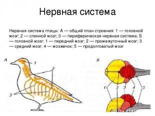 Нервная система Нервная система птицы: А — общий план строения: 1 — головной моз