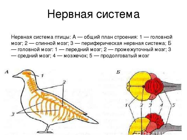 Нервная система Нервная система птицы: А — общий план строения: 1 — головной мозг; 2 — спинной мозг; 3 — периферическая нервная система; Б — головной мозг: 1 — передний мозг; 2 — промежуточный мозг; 3 — средний мозг; 4 — мозжечок; 5 — продолговатый мозг