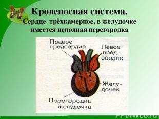 Кровеносная система. Сердце трёхкамерное, в желудочке имеется неполная перегород