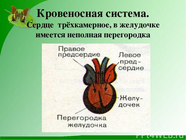 Кровеносная система. Сердце трёхкамерное, в желудочке имеется неполная перегородка