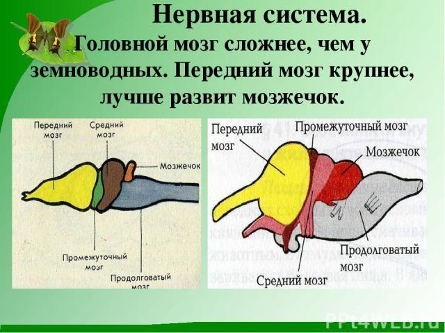 Нервная система. Головной мозг сложнее, чем у земноводных. Передний мозг крупнее, лучше развит мозжечок.