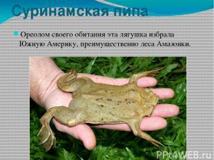 Суринамская пипа Ореолом своего обитания эта лягушка избрала Южную Америку, преи