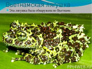 Вьетнамская лягушка Эта лягушка была обнаружена во Вьетнаме.
