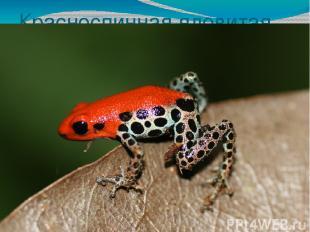 Красноспинная ядовитая лягушка