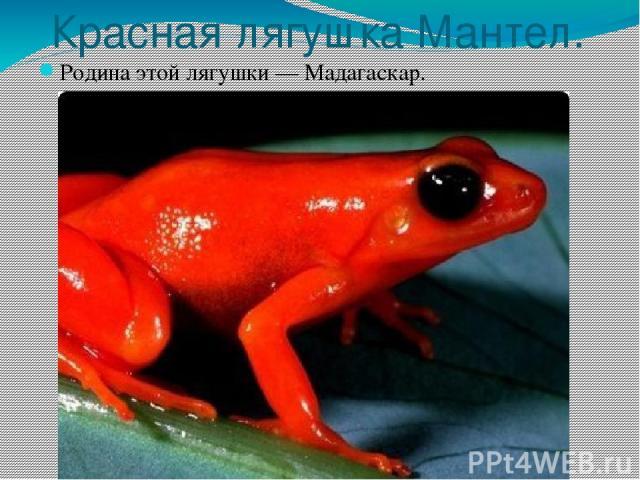 Красная лягушка Мантел. Родина этой лягушки — Мадагаскар.