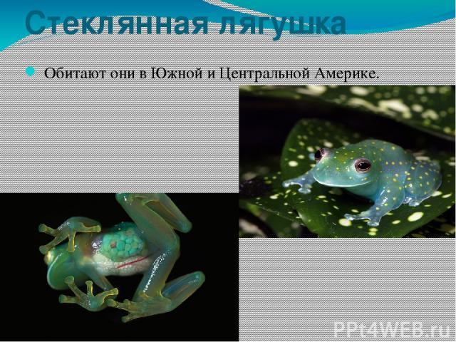 Стеклянная лягушка Обитают они в Южной и Центральной Америке.