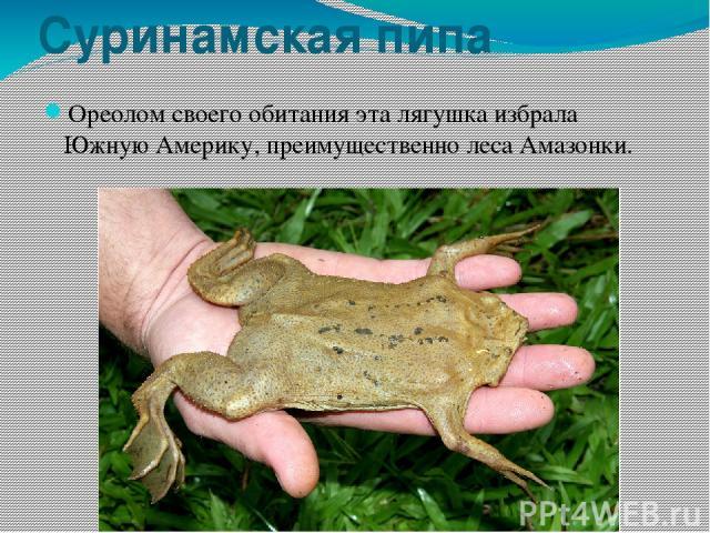 Суринамская пипа Ореолом своего обитания эта лягушка избрала Южную Америку, преимущественно леса Амазонки.