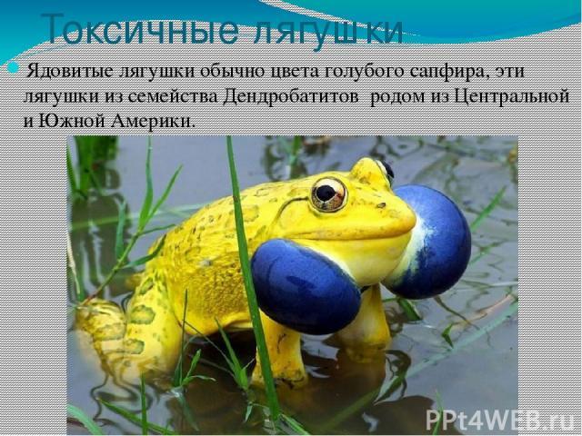 Токсичные лягушки Ядовитые лягушки обычно цвета голубого сапфира, эти лягушки из семейства Дендробатитов родом из Центральной и Южной Америки.