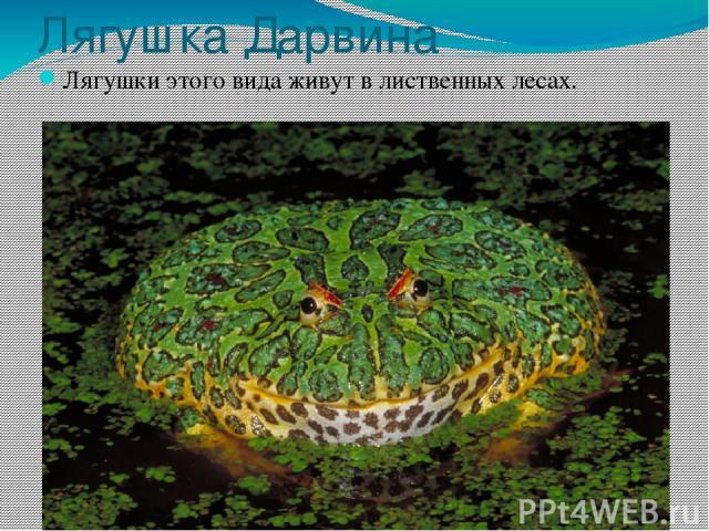 Лягушка Дарвина Лягушки этого вида живут в лиственных лесах.