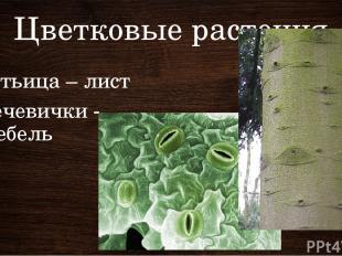 Цветковые растения Устьица – лист Чечевички - стебель Устьица – на нижней сторон