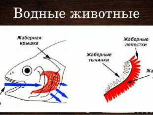 Водные животные Жабры – рыбы, ракообразные, моллюски Ж – особые разветвленные ко