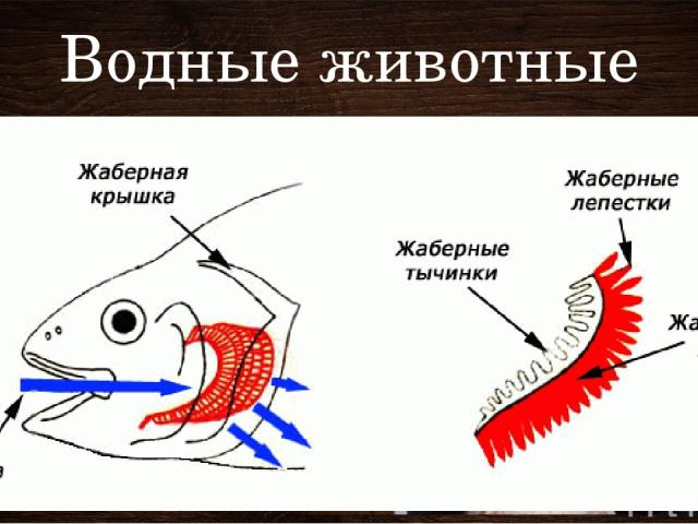 Водные животные Жабры – рыбы, ракообразные, моллюски Ж – особые разветвленные кожные выросты тела. Жабрами дышат рыбы, ракообразные и моллюски. Жабры бывают наружные и внутренние. У рыб – внутренние. Рыба заглатывает воду ртом и проталкивает ее чере…