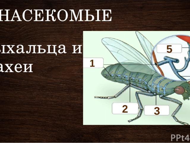 НАСЕКОМЫЕ Дыхальца и трахеи У насекомых есть пара отверстий – дыхалец в каждом сегменте, от которых отходят ветвящиеся трубочки – трахеи. Они пронизывают все тело. По ним в организм насекомого поступает воздух богатый кислородом.
