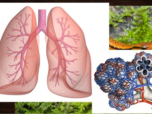 ПОЗВОНОЧНЫЕ Легкие Искл: амфибии (кожное дыхание) Легкие – ячеистые мешки, пронизанные большим количеством сосудов. Такое строение позволяет увеличить поверхность легких во много раз. (1200 гр весят, превышают площадь организма в 10 раз). Исключения…