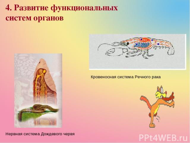 4. Развитие функциональных систем органов Нервная система Дождевого червя Кровеносная система Речного рака