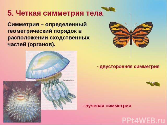 5. Четкая симметрия тела Симметрия – определенный геометрический порядок в расположении сходственных частей (органов). - лучевая симметрия - двусторонняя симметрия