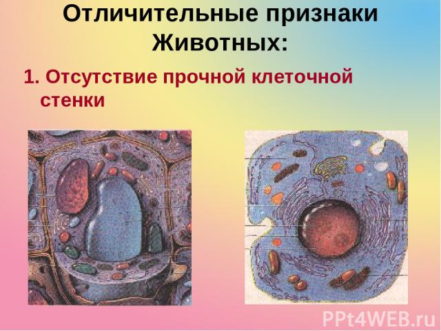 Отличительные признаки Животных: 1. Отсутствие прочной клеточной стенки