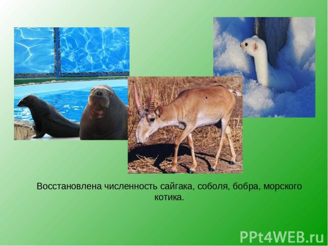 Восстановлена численность сайгака, соболя, бобра, морского котика.