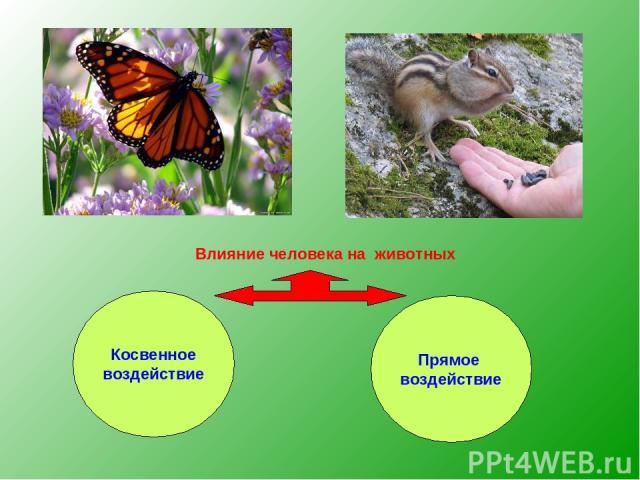 Влияние человека на животных Косвенное воздействие Прямое воздействие