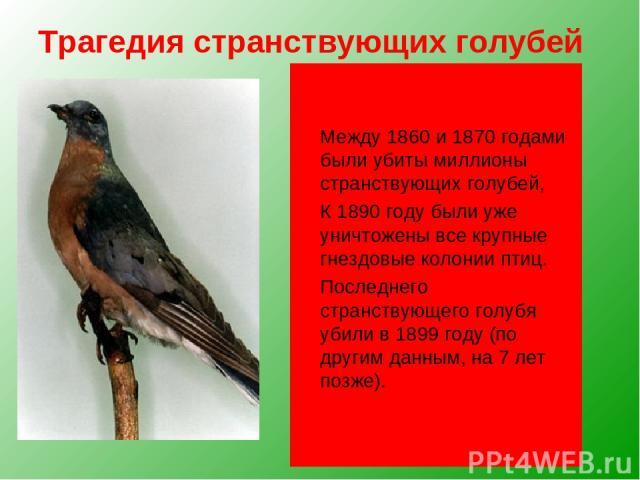 Трагедия странствующих голубей Чуть более ста лет назад в Северной Америке этот голубь был самой многочисленной птицей В отдельных колониях насчитывались миллиарды птиц. Они пролетали над землей такими густыми тучами, что буквально затмевали небо. Л…